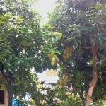 pokok mangga
