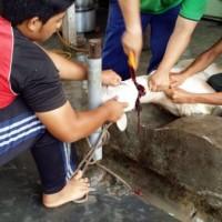 Kambing Golek Melaka004MSI_Aug15