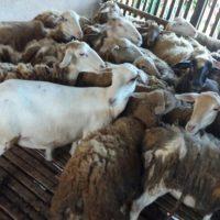 Kambing golek_Melaka_19roast whole lamb