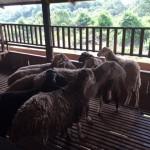 goat supplier melaka