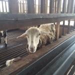kambing korban dijual melaka