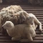 kambing ternakan