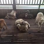 kambing ternakan djaro